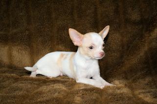 Chihuahua Puppies Available at Animal Haus Chihuahuas