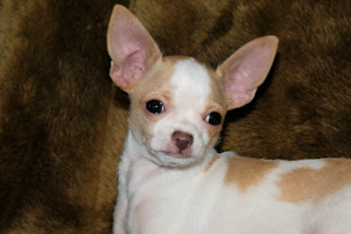 Cookie, Fawn Spotted on White Smoothcoat Male Chihuahua Puppy