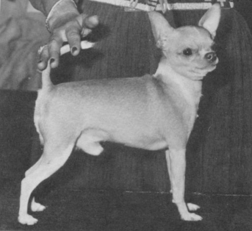 Chihuahua Breed Standard, then and now
